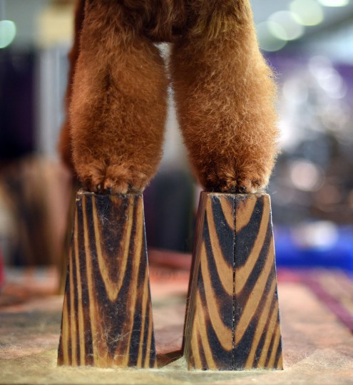 A Welsh Terrier stands on blocks during grooming in the benching area at Pier 92 and 94 in New York City on the 2nd day of competition at the 139th Annual Westminster Kennel Club Dog Show February 17, 2015. (Timothy Clary/AFP/Getty Images)