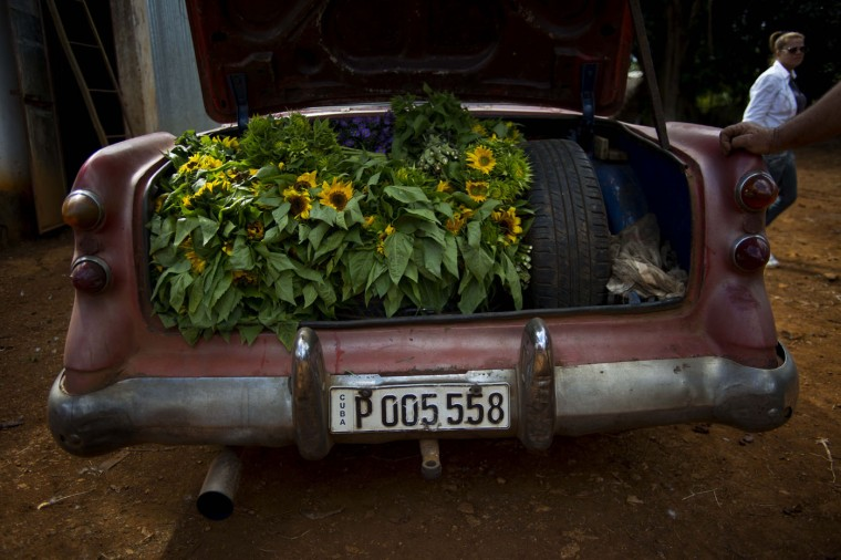In this Thursday, Jan. 29, 2015 photo, the truck of a rented 1957 Buick is stuffed with sunflower bunches at a farm in San Antonio de los Banos, Cuba. Private flower vendor Yaima Gonzalez Matos rents the American classic for about $20 a day, to transport the flowers to the capital. It's a tough job: Gonzalezís suppliers hardly ever fill all her requests for reasons that range from bad weather to competitors outbidding her. (AP Photo/Ramon Espinosa)