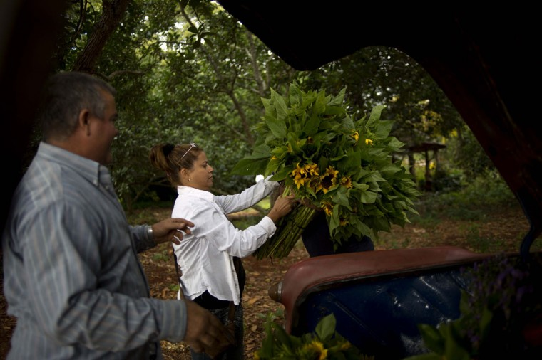 In this Thursday, Jan. 29, 2015 photo, private flower vendor Yaima Gonzalez Matos, 33, looks at sunflower bunches before loading them in the trunk of a rented 1957 Buick, with the help of driver Lazaro, in San Antonio de los Banos, Cuba. Gonzalez dreams of one day having a business big enough to let her buy a truck. For now she pays Lazaro about $20 a day including gas to transport the flowers to the capital. (AP Photo/Ramon Espinosa)