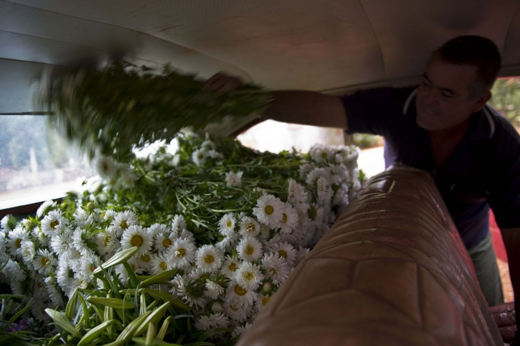In this Thursday, Jan. 29, 2015 photo, taxi driver Lazaro adds another bunch of daisies to the growing pile of fresh cut perennials in the backseat of his 1957 Buick, in San Antonio de los Banos, Cuba. Private flower vendor Yaima Gonzalez Matos pays Lazaro about $20 a day including gas to transport the flowers to the capital. (AP Photo/Ramon Espinosa)
