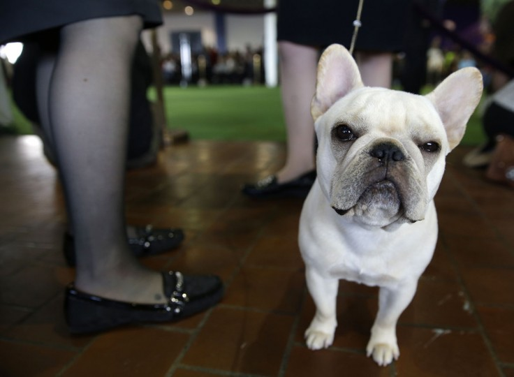 A French Bulldog named Reba waits to enter the ring at the Westminster Kennel Club show in New York, Monday, Feb. 16, 2015. (AP Photo/Seth Wenig)