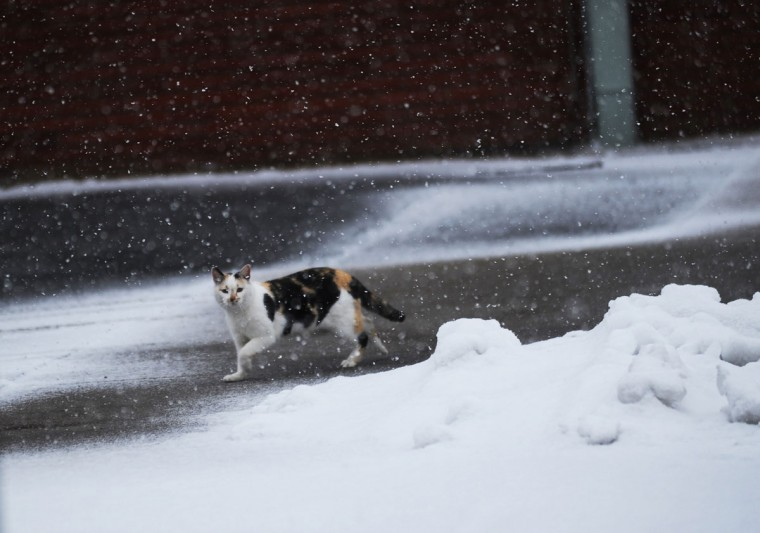 A cat walks cautiously through the snow in downtown Exmore, Va. on Tuesday, Feb. 24, 2015. (AP Photo/Jay Diem, Eastern Shore News)