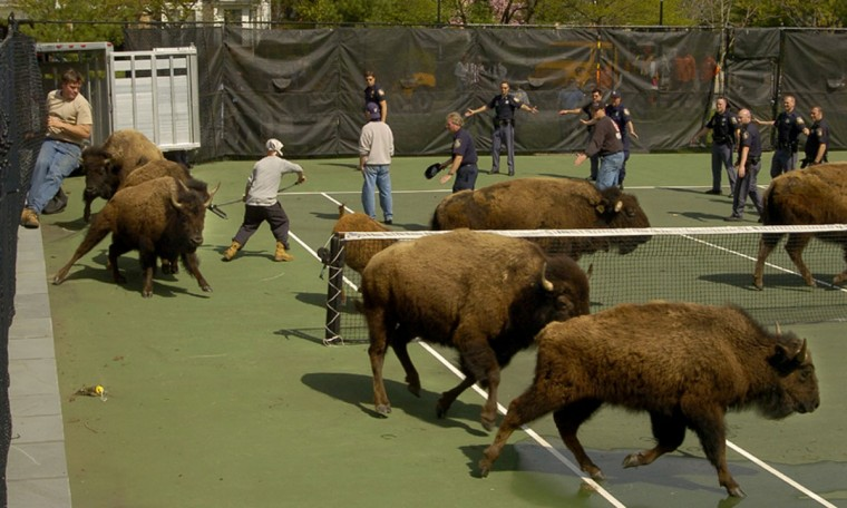 Baltimore County police try to corral the bison on the tennis courts at the Greene Tree gated community in Pikesville. (Amy Davis/Baltimore Sun)