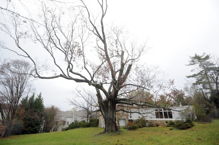 This is a champion American Beech tree was the largest in the city. It was cut down in 2012 because the trunk is rotted and the tree is dying. Barbara Haddock Taylor, Sun file photo, 2012.