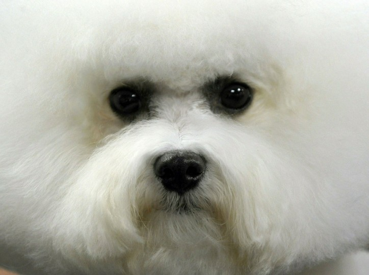 A Bichon Frise waits to get groomed backstage during the 135th Westminster Kennel Club Dog Show at Madison Square Garden in New York, February 14, 2011. (Timothy Clary/AFP/Getty Images)