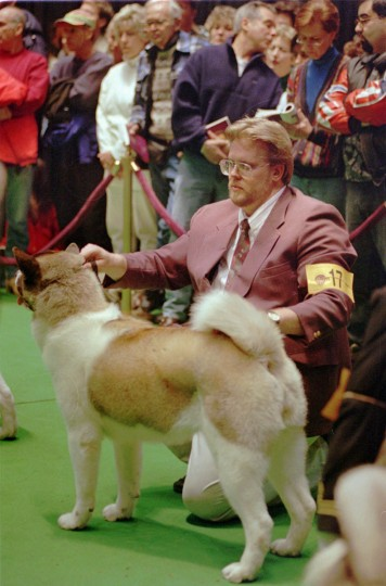 "Edward Lipnickas Jr., ""set up"" his dog Tundra while waiting for judging during the Westminster Dog Show in New York. ""Tundra"" made the cut into the second round of judging but didn't win any prize in 1996 contest. (Kenneth K. Lam/Baltimore Sun)"