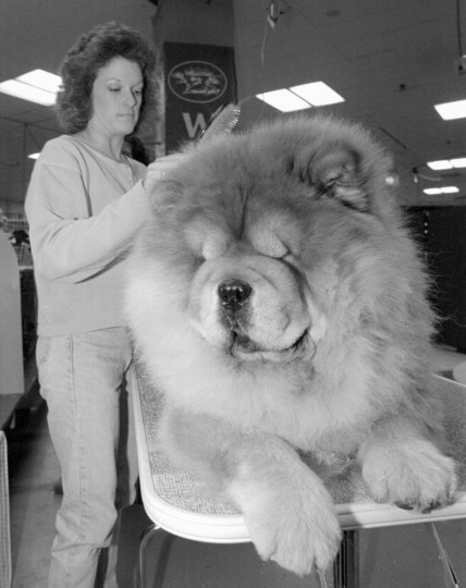 Nina Work of Lima, Ohio, grooms Bai-Lee's Gold Quest, upon their arrival at New York's Madison Square Garden Friday, Feb. 10, 1995, in preparation for the Westminster Kennel Club Dog Show which opens Monday, Feb. 13, 1995. Over 2,500 dogs are entered in the annual event, featuring 148 breeds and variety of dogs competing in the two-day show. (AP Photo/Ed Bailey)