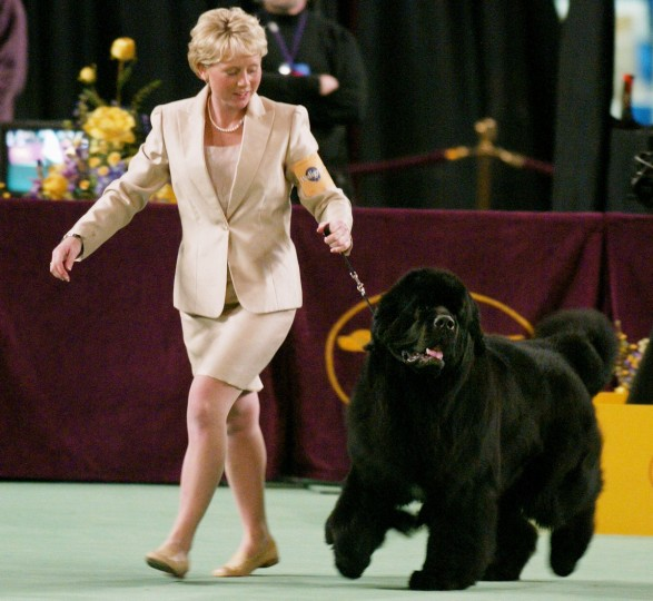 Handler Michelle Ostermiller runs with Josh, a Newfoundland, before he won best in show at the Westminster Dog Show February 10, 2004 in New York's Madison Square Garden. At 155 pounds, Josh tied for the biggest dog ever to win at Westminster. Over 2600 dogs took part in the show. (Jeff Christensen/Reuters)