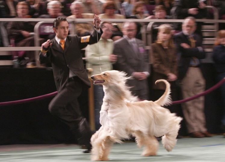 Afghan Hound Karamoor Llacue's Edelweiss is presented by his handler during competition at the 129th Westminster Kennel Club dog show, Tuesday, Feb. 15, 2005 in New York. (AP Photo/Mary Altaffer)