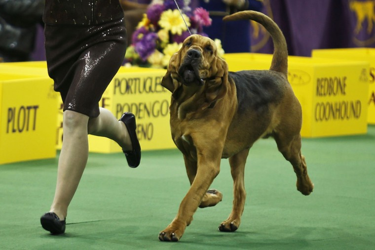 Nathan, a bloodhound, competes in the hound group during day one of judging of the 2014 Westminster Kennel Club Dog Show in New York, February 10, 2014. (Eduardo Munoz/Reuters)