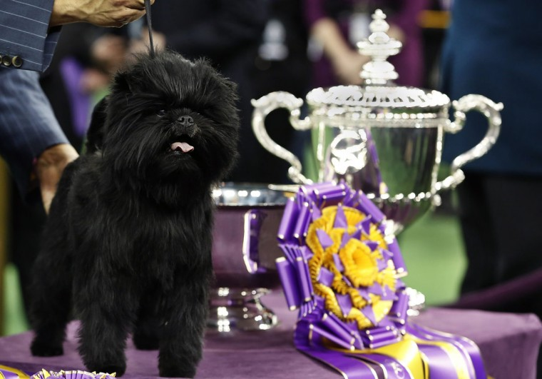 Banana Joe, an Affenpinscher, stands beside its trophy after winning the 137th Westminster Kennel Club Dog Show at Madison Square Garden in New York, February 12, 2013. (Shannon Stapleton/Reuters)