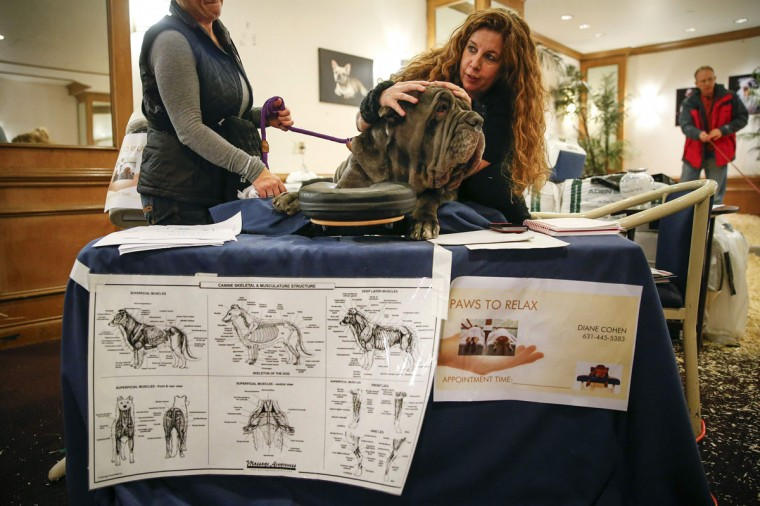 Cydonia, a Neapolitan Mastiff, gets a massage from massage therapist Diane Cohen at the Hotel Pennsylvania in New York, February 9, 2014. (Shannon Stapleton/Reuters)