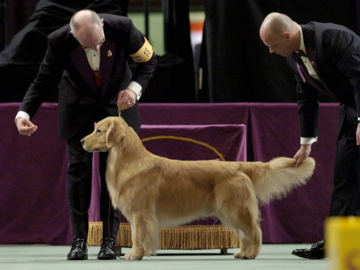 Andy, a golden retriever, is judged by Michael H. Faulkner (R) as he is held by handler Ken Matthews (L) at the 130th Westminster Kennel Club dog show, 14 February, 2006, at Madison Square Garden in New York. Andy won best in the Sporting Group and advanced to the Best In Show round. (Stan Honda/AFP/Getty Images)
