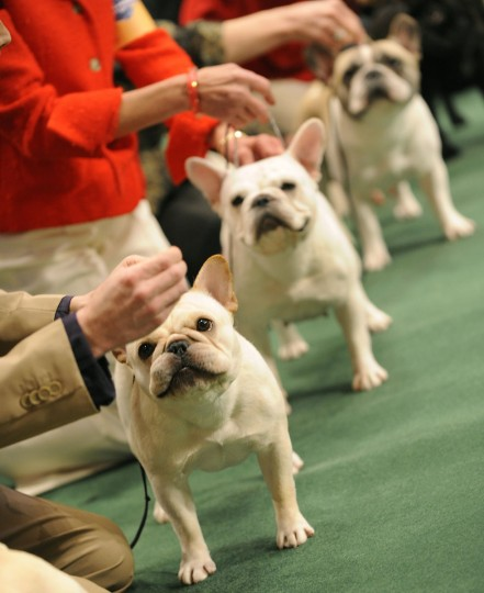 French Bulldogs line up in the judging ring during the 2009 Westminster Kennel Club dog at Madison Square Garden in New York on February 9, 2009. (Timothy Clary/AFP/Getty Images)