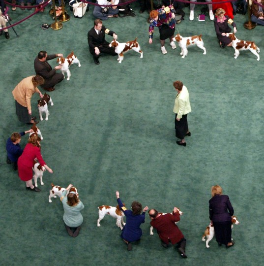 A group of Brittanys are judged by Mrs. Ann F. Yuhasz, center, during competition at the 129th Westminster Kennel Club dog show, Tuesday, Feb. 15, 2005 in New York. (AP Photo/Mary Altaffer)
