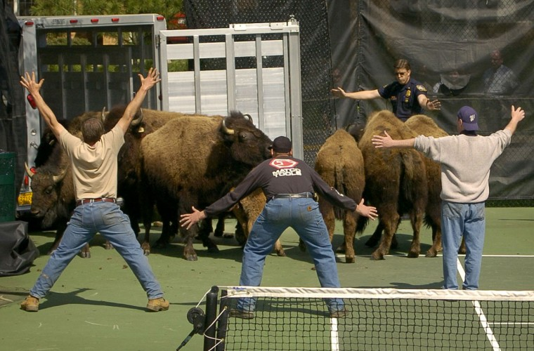 Baltimore County police try to corral the bison on the tennis courts at the Greene Tree gated community in Pikesville. (Steve Ruark, Associated Press)