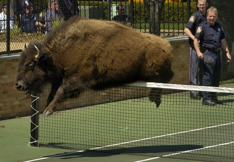 A bison jumps the net on the tennis courts at Greene Tree community in Pikesville. (Amy Davis/Baltimore Sun)