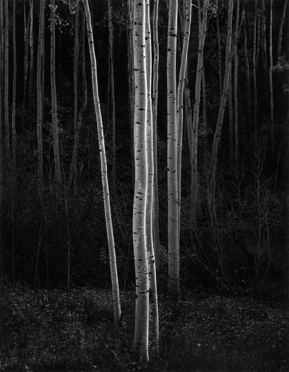 Aspens, Northern New Mexico, 1958. (The Lane Collection courtesy of the Museum of Fine Arts, Boston. Copyright 2007 The Ansel Adams Publishing Rights Trust)