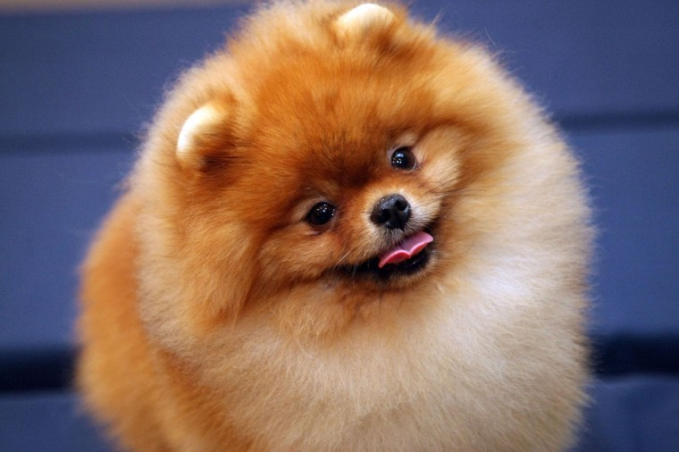 Cheerio, Pomeranian, attends the Westminster Dog Show pre-event press conference at the Hotel Pennsylvania's Skytop Ballroom on February 5, 2009 in New York City. (Photo by Andrew H. Walker/Getty Images)