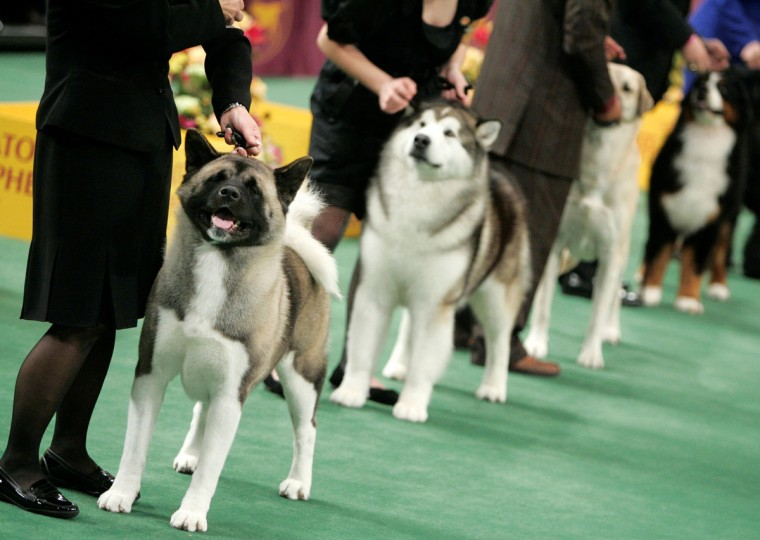 Macey, at left, an akita, competes in the working group at the 132nd Westminster Kennel Club Dog Show at Madison Square Garden in New York, Tuesday, Feb. 12, 2008. Macey won Best in Group. (AP Photo/Seth Wenig)
