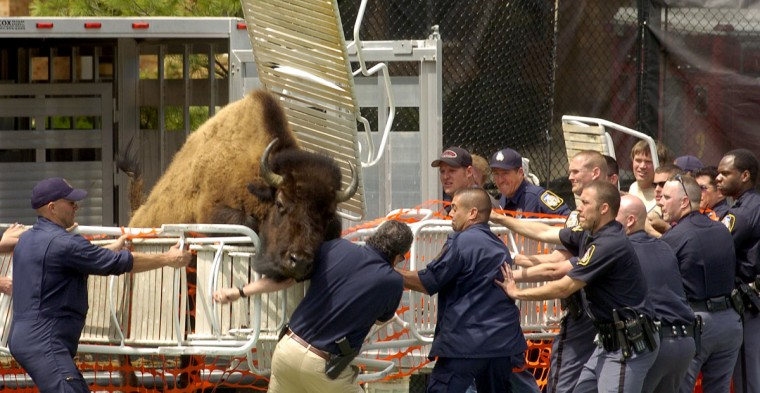 Baltimore County police try to corral a bison on the tennis courts at Greene Tree gated community in Pikesville. (Amy Davis/Baltimore Sun)