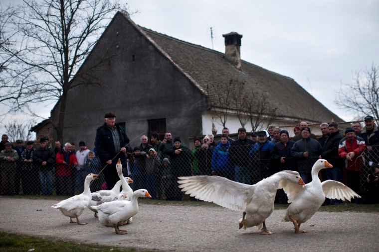People watch as a gander chases his opponent during a fight in Mokrin, 120 kilometers north of Belgrade, Serbia. The so-called World Gander Fighting Championship, an annual event that attracts gander owners and their fighting pets from miles around, is held every February in the Serbian village of Mokrin. Gander fights, which are considered part of folklore in northern Serbia, are not extremely violent, and the fighting animals do not get seriously injured, apart from losing a few feathers. (Marko Drobnjakovic/AP)