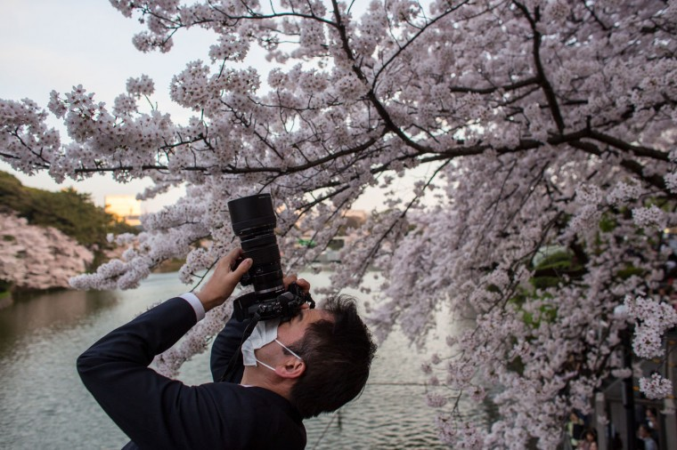 A man takes a photograph of blooming cherry blossom trees at Chidorigafuchi on March 31, 2015 in Tokyo, Japan. The Cherry blossom season begins in Okinawa in January and moves north through Feburary peaking in Kyoto and Tokyo at the end of March and lasting just over a week. (Photo by Chris McGrath/Getty Images)