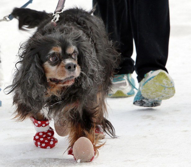 In this Sunday, March 1, 2015 photo, Sanders, a 12-year-old Cavalier King Charles spaniel mix, walks with winter booties with owner Malia Ebel in Concord, N.H. A harsh winter across the country has pet owners buying boots to protect their pets paws. (AP Photo/Jim Cole)