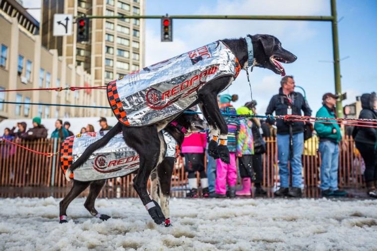 A dog in musher Ken Anderson's team jumps in anticipation of the ceremonial start of the Iditarod sled dog race in Anchorage, Alaska, on Saturday, March 7, 2015. A lack of snow forced race organizers to move the official start of the race to Fairbanks, but the ceremonial start remained in Anchorage. (AP Photo/Alaska Dispatch News, Loren Holmes)