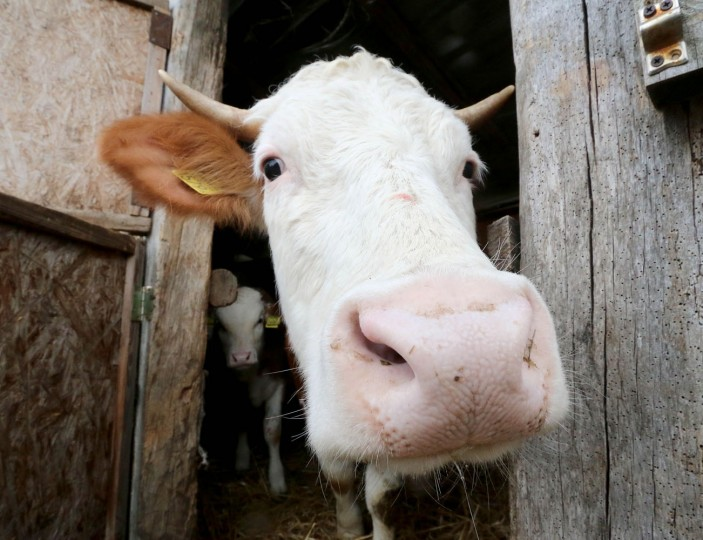 A cow peers out of a cowshed in the village of Megyer, Hungary, Friday, March 13, 2015. For 210,000 forints (US Dollar 730) a day, visitors get access to seven guest houses in the village that sleep 39 people, a bus stop, horses, chickens and four hectares (10 acres) of farm land. (AP Photo/Ronald Zak)