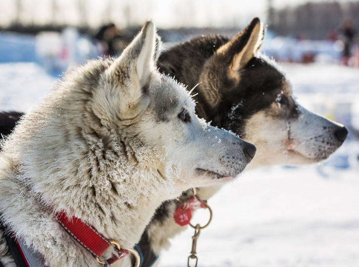 Dogs in musher Rob Cooke's team wait for food at the Manley Hot Springs, Alaska, checkpoint during the Iditarod Trail Sled Dog Race on Tuesday, March 10, 2015. (AP Photo/Alaska Dispatch News, Loren Holmes)