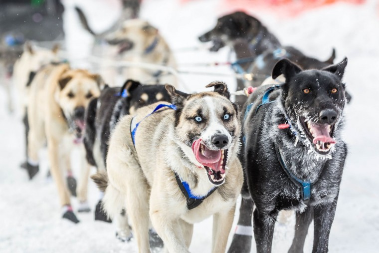 Rohn Buser's lead dogs charge down Broadmoor Avenue during the start of the Iditarod Trail Sled Dog Race, Monday, March 9, 2015, in Fairbanks, Alaska. Iditarod mushers began their 1,000-mile trek across Alaska along a new route Monday after poor trail conditions forced organizers to push the race's start north, bypassing a mountain range.(AP Photo/Alaska Dispatch News, Loren Holmes)