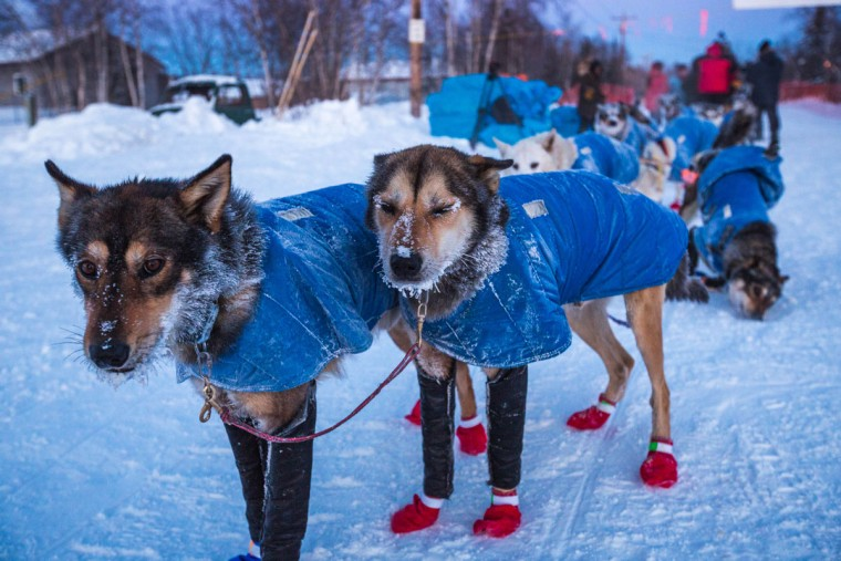 In this Friday, March 13, 2015, Mitch Seavey's lead dogs with frosty whiskers at the Huslia, Alaska, checkpoint for the Iditarod Trail Sled Dog Race. (AP Photo/Alaska Dispatch News, Loren Holmes)