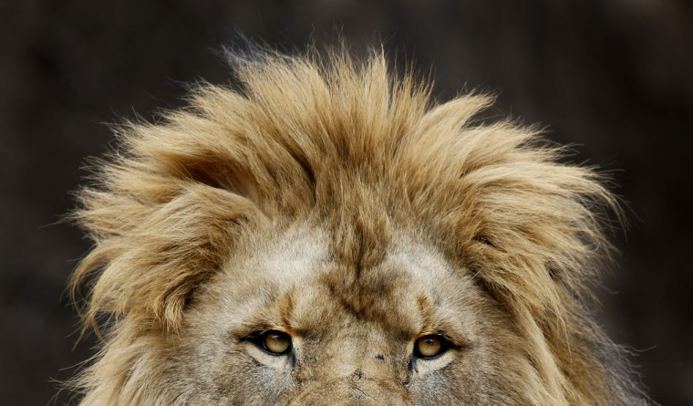 An African Lion at the Lincoln Park Zoo looks out over the visitors at the zoo, Thursday, March 19, 2015, in Chicago. (AP Photo/Charles Rex Arbogast)