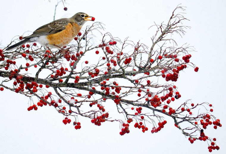 A robin eats berries from a tree near downtown Marion, Ind., on Wednesday, Feb. 4, 2015. Temperatures are expected to fall to the single digits overnight in Central Indiana. (AP Photo/Chronicle-Tribune, Jeff Morehead)