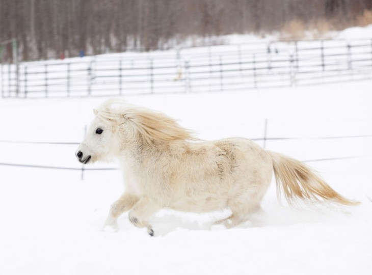 Roany, the grey 10-year-old miniature horse, takes a break from the dry stable to barrel through the snow Friday, Feb. 20, 2015, at Sandy Creek Stables in West Paducah. Roany's owner, Sandy Lipford, said she often takes Roany and her other miniature, Dixie, to birthday parties and schools. Lipford teaches jumping, western and dressage. (AP Photo/The Paducah Sun, John Paul Henry)
