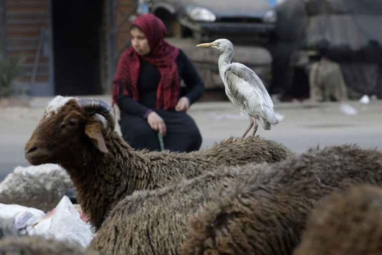 A bird sits on a sheep as an Egyptian sheep vendor waits for customers in the Imbaba neighborhood of Giza, Egypt, Wednesday, Feb. 25, 2015. (AP Photo/Hassan Ammar)