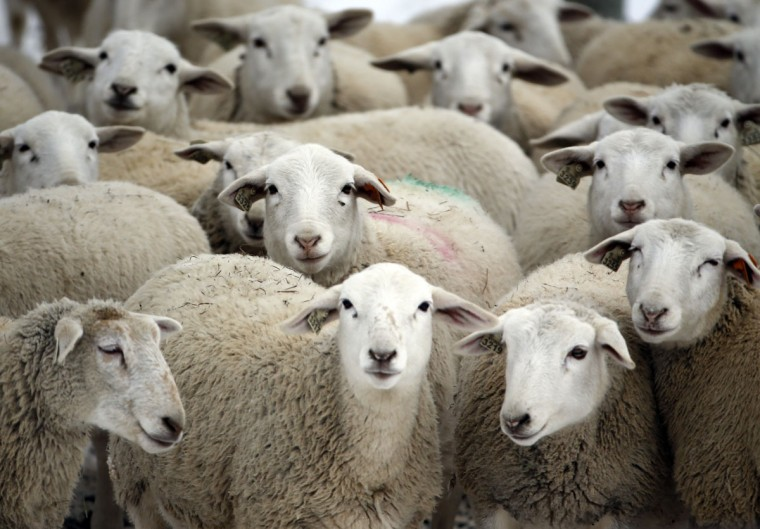 Dorper sheep huddle on a frigid winter day at Kinderhook Farm on Friday, Feb. 6, 2015, in Ghent, N.Y. (AP Photo/Mike Groll)