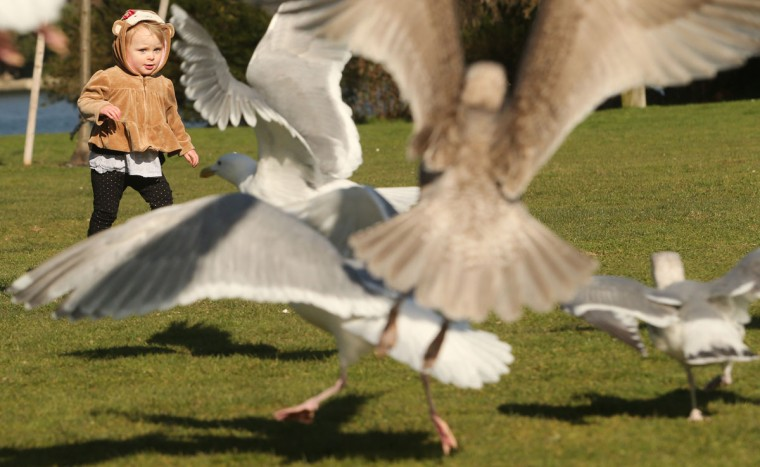 Seagulls take flight as a curious Charlye Malone, 1, walks up to them while visiting Evergeen Rotary Park in Bremerton Wash. with her grandmother on Tuesday, March 3, 2015. (AP Photo / Kitsap Sun, Meegan M. Reid)