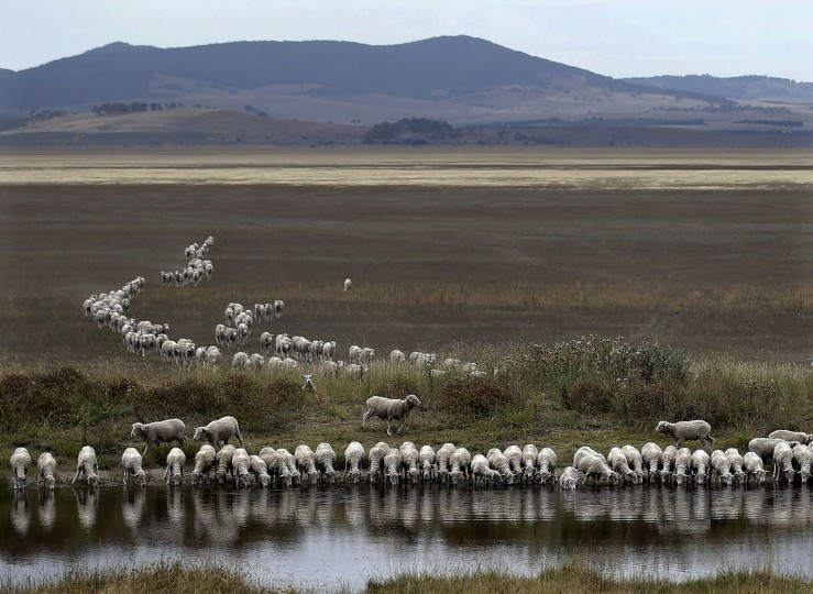 A flock of sheep drink from a dam at the edge of the dried-up Lake George, about 250 kilometers (155 miles) southwest of Sydney, Australia, on Tuesday, March 3, 2015. Australia's outback and surrounding regions are a vast, arid and semi-arid area that are perpetually on the verge of, or in the midst of, a drought. Farmers must constantly explore different ways of keeping their livestock hydrated, crops watered and themselves alive by making use of dams, storage tanks and artesian wells. (AP Photo/Rob Griffith)