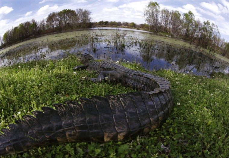 An alligator rests on a bank along Elm Lake at the Brazos Bend State Park in Needville, Texas, on March 17, 2015. The park estimates that about 250 or so alligators over 6-feet long live in the 1,000 acres of water at the park. (AP Photo/David J. Phillip)