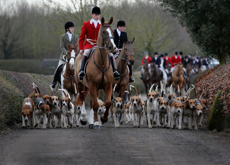 BOSWORTH, ENGLAND - MARCH 05: The hounds of the Atherstone Hunt are led by Hunstman Stuart Barton on March 5, 2015 in Bosworth, England. The hunt is celebrating 200 years since it was formed. The historical hunt celebrated it's bicentenary with today's hunt starting from Bosworth. The hunt continues it's tradition with members paying a subscription and has 400 square miles of fox hunting ground within Warwickshire, Leicestershire and Staffordshire. (Photo by Christopher Furlong/Getty Images)