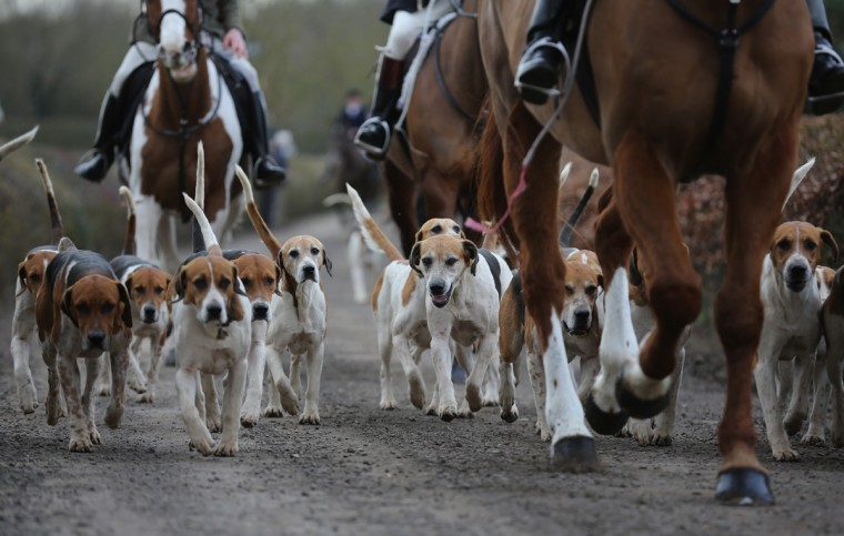The Hounds and Horses of the Atherstone Hunt set out on a hunt on March 5, 2015 in Bosworth, England. The hunt is celebrating 200 years since it was formed. The historical hunt celebrated it's bicentenary with today's hunt starting from Bosworth. The hunt continues it's tradition with members paying a subscription and has 400 square miles of fox hunting ground within Warwickshire, Leicestershire and Staffordshire. (Photo by Christopher Furlong/Getty Images)