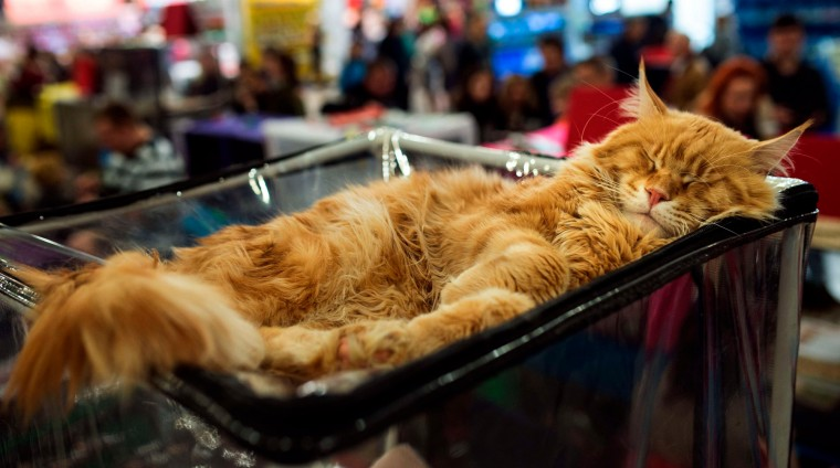 "A Maine Coon breed cat sleeps during the ""Catsburg"" cat exibition in Moscow. (Dmitry Serebryakov/AFP-Getty Images)"