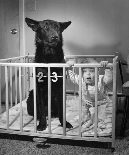 Nine-month-old William Kerbe, a grandson of city police Sgt. William Kerbe, shares his playpen with Kirke, a police dog, on May of 1959 in his Howard County home. (Richard Stacks/Baltimore Sun)