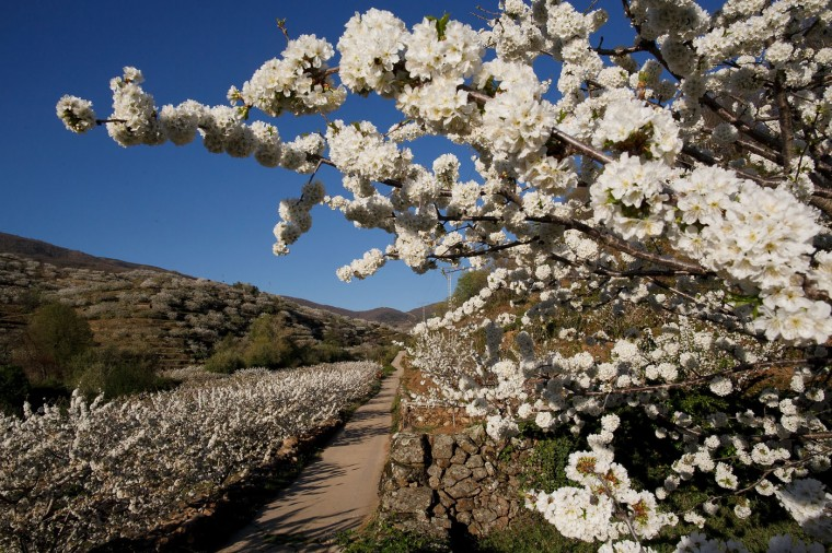 A field of cherry trees in full bloom on April 4, 2015 in the Jerte Valley, near Plasencia, in the region of Extremadura, Spain. During spring around two million cherry trees bloom at Jerte Valley bringing thousands of visitors to see the landscapes covered in white blossom. The Jerte Valley is one of the main cherry production areas in Spain with a harvest of around 15.000 tonnes of cherries every year depending on the weather. (Photo by Pablo Blazquez Dominguez/Getty Images)