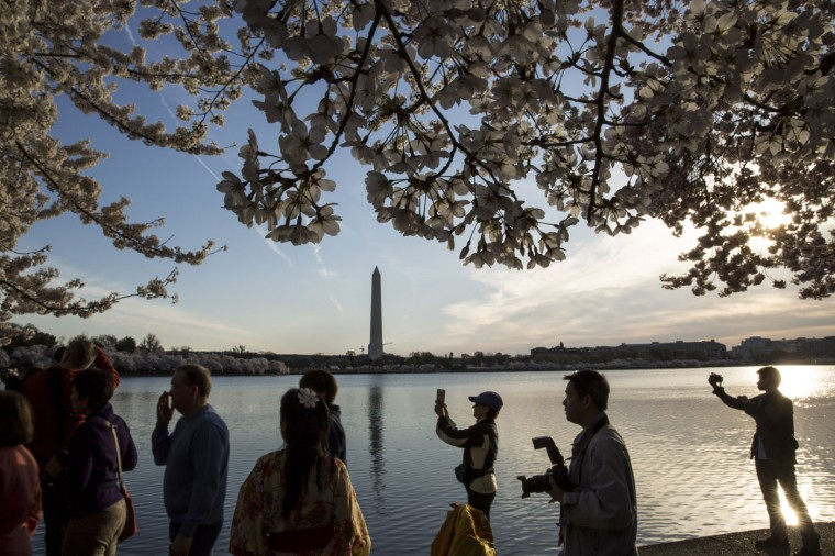 Visitors walk along the Tidal Basin and take photographs of the blooming cherry trees after sunrise, April 11, 2015 in Washington, DC. According to the National Parks Service, the cherry trees are expected to be in peak bloom through Tuesday. (Drew Angerer/Getty Images)