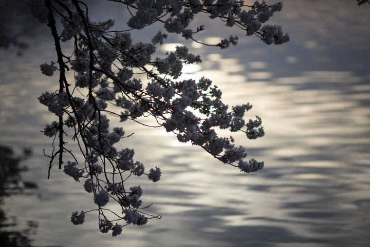 The blossoms of cherry trees hang over the Tidal Basin at sunrise, April 11, 2015 in Washington, DC. According to the National Parks Service, the cherry trees are expected to be in peak bloom through Tuesday. (Drew Angerer/Getty Images)