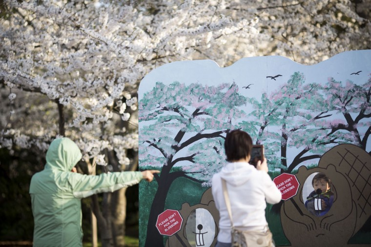 A child poses for a cherry blossom themed photograph near the Tidal Basin, April 11, 2015 in Washington, DC. According to the National Parks Service, the cherry trees are expected to be in peak bloom through Tuesday. (Drew Angerer/Getty Images)