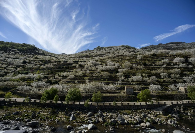 A general view of cherry trees in full bloom is pictured in Jerte's Valley (Valle del Jerte) in Extremadura on April 2, 2015. Viewing cherry blossoms is a cultural event in Extremadura, where thousands of tourists turn out to admire them annually. (Dani Pozo/AFP/Getty Images)